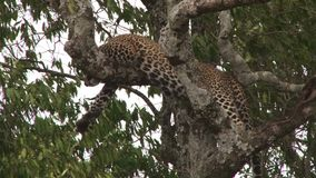 Ein Leopard, der auf einer Niederlassung eines Baums sitzt stock video