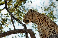 Ein Leopard, der eine Antilope auf einem Baum, Nationalpark Kruger, Südafrika isst Stockfoto
