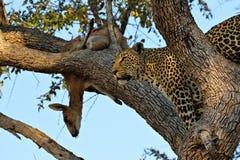 Ein Leopard, der eine Antilope auf einem Baum, Nationalpark Kruger, Südafrika isst Lizenzfreie Stockbilder