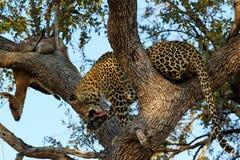 Ein Leopard, der eine Antilope auf einem Baum, Nationalpark Kruger, Südafrika isst Lizenzfreies Stockbild