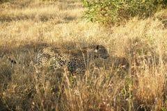 Ein Leopard im Sabie versandet privaten Spiel-Vorbehalt lizenzfreies stockbild