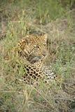 Ein Leopard im Sabie versandet privaten Spiel-Vorbehalt Lizenzfreie Stockfotografie