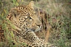 Ein Leopard im Sabie versandet privaten Spiel-Vorbehalt lizenzfreie stockfotos