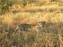 Ein Leopard im Sabie versandet privates Spiel Reserv stockbilder