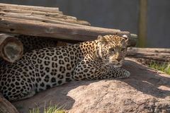 Ein Leopard, Panthera pardus, in der Gefangenschaft Stockfotos