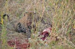Ein Leopard sitzt nahe bei einer Tötung Stockbild