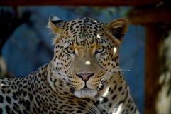 Ein Leopard steht im Schatten still Lizenzfreie Stockbilder