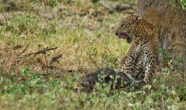 Ein Leopardgenießen Stockfoto