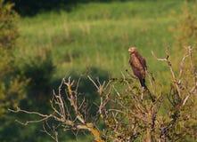 Ein Lesser Spotted Eagle-Beobachten Stockbild