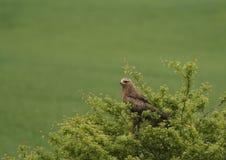 Ein Lesser Spotted Eagle-Beobachten Lizenzfreie Stockbilder