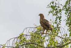 Ein Lesser Spotted Eagle-Stillstehen Stockfoto