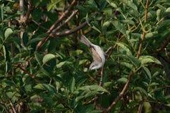 Ein Lesser Whitethroat-Trällerer Sylvia-curruca Großbritannien Lizenzfreie Stockbilder