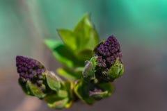 Ein lila Blühen fängt an lizenzfreie stockbilder