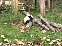 Ein litte großer Panda stock footage