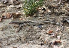 Ein Lizad Stockfoto
