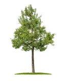 Ein lokalisierter Birnenbaum Lizenzfreies Stockbild