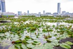 Ein Lotosteich in Singapur Stockbild