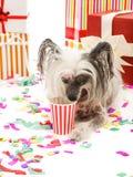 Ein lustiger Chinese Crested-Hund liegt nahe Geschenk und trinkt etwas von einer Papierschale Getrennt auf weißem Hintergrund Lizenzfreies Stockfoto