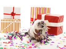 Ein lustiger Hund wird in einer festlichen Girlande eingewickelt, die nahe großen Geschenkboxen liegt Getrennt auf weißem Hinterg Lizenzfreie Stockbilder