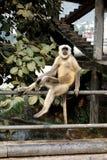 Ein lustiger Langur sitzt auf Geländer Lizenzfreie Stockfotos