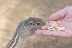 Ein lustiges kleines Eichhörnchen isst Plätzchen von der Hand lizenzfreie stockbilder