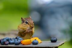 Ein lustiges Oststreifenhörnchen, das seine Backen an einem Bankett der Frucht anfüllt stockfotos