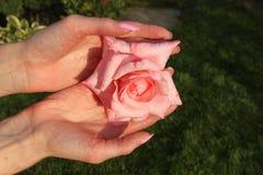 Ein Mädchen hält Rosarosenblume mit Wassertropfen durch Hände mit schöner Maniküre in einem Datschagarten Lizenzfreie Stockfotografie