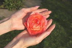 Ein Mädchen hält Rotrosenblume durch Hände mit schöner Maniküre in einem Datschagarten Lizenzfreie Stockbilder