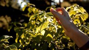 Ein Mädchen im Sommer mit den Strahlen der Sonne, die auf einen Baum fällt, berührt seine Blumenblätter stock footage