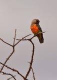 Ein männlicher afrikanischer Orange-aufgeblähter Papagei Stockbild
