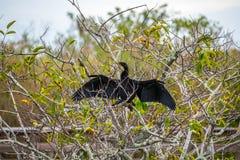 Ein männlicher Anhinga im Everglades-Nationalpark, Florida stockfoto