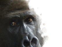 Ein männlicher Berggorilla beobachtet die Kamera Lizenzfreie Stockfotos