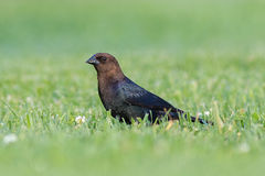 Ein männlicher Brown-köpfiger Cowbird Stockfotos