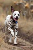 Ein männlicher Dalmatiner genießt, entlang eine Landbahn in Adelaide in Süd-Australien zu laufen Lizenzfreies Stockfoto