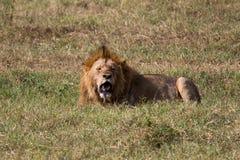 Ein männlicher entspannender Löwe Stockfotos