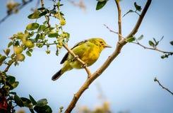 Ein männlicher gelber Kanarienvogel lizenzfreie stockfotos