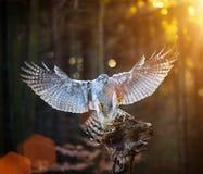 Ein männlicher Hühnerhabicht u. ein x28; Accipiter gentilis& x29; Landung auf dem Stumpf im Wald während des Sonnenuntergangs Lizenzfreie Stockfotografie