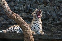Ein männlicher indischer Leopard gähnt in seiner Beschränkung an einem Naturschutzgebiet in Indien Lizenzfreies Stockfoto