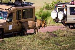 Ein männlicher Löwe, der seine Rückseite verkratzt Stockfotografie