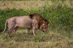 Ein männlicher Löwe gefüllt mit Narben Stockfoto
