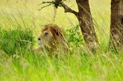 Ein männlicher Löwe legt in hohes Gras stockfotografie