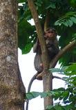 Ein männlicher Mützen-Makaken, der hoch auf Niederlassung eines Baums sitzt Lizenzfreies Stockbild
