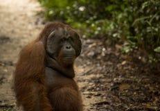 Ein männlicher Orang-Utan, der gerade heraus hängt Lizenzfreie Stockbilder