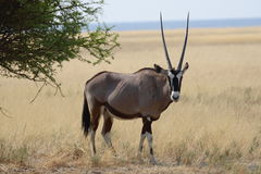 Ein männlicher Oryx/ein Gemsbok, der in der Wiese steht Lizenzfreie Stockfotografie