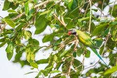 Ein männlicher rotbrüstiger Sittich, der wilde Beere auf dem Baum isst Lizenzfreies Stockfoto