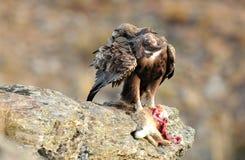 Ein männlicher Steinadler Stockfotografie