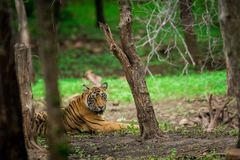 Ein männlicher Tiger, der im Monsun stillsteht, grünt an Nationalpark Ranthambore stockfotografie