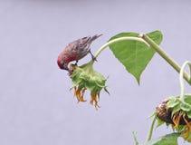 Ein männliches Haus Finch Eating Sunflower Seeds Stockfotos