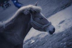 Ein männliches Pferd stallion stockfotos
