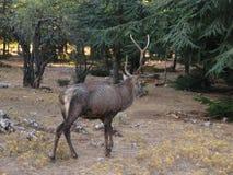Ein männliches Rotwild, das am Wald geht Lizenzfreies Stockbild